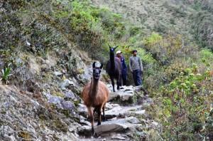 Walking with Llamas